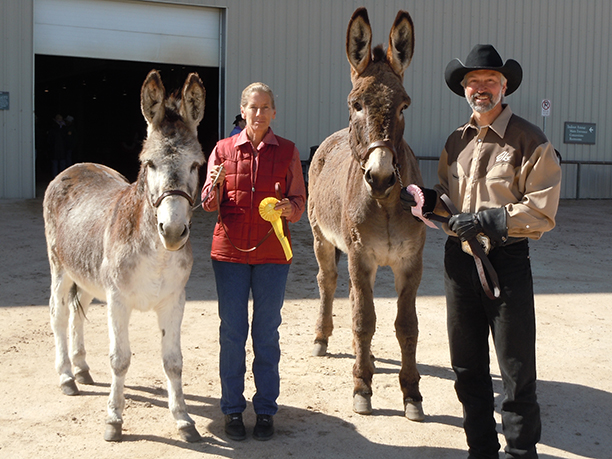 Amy's sister, Karen is showing Pilgrim, and I am showing Pardrer at the Castle Rock Mule & Donkey Show.